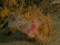 Lazy Scorpion fish