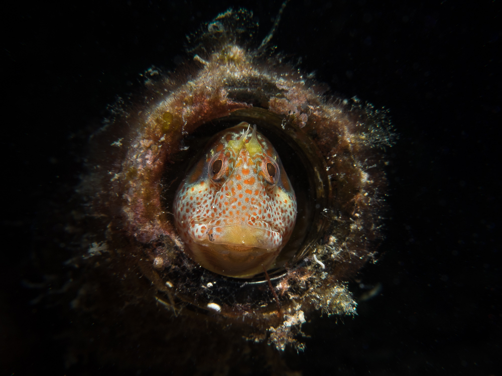 Blenny in a bottle