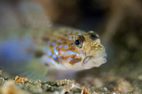 """shallow""-goby"